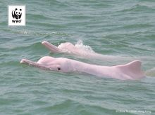 Hydrophones can save Chinese white dolphins
